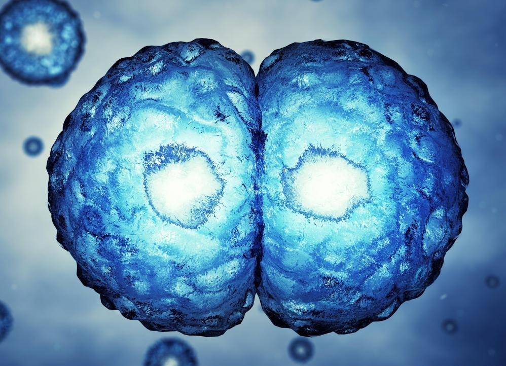 Зиготы делят один раз генетический материал от обоих родителей.