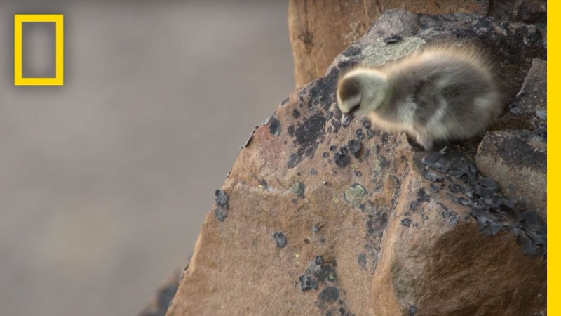 Arctic Geese Chicks Jump Off Cliff to Survive | Hostile Planet