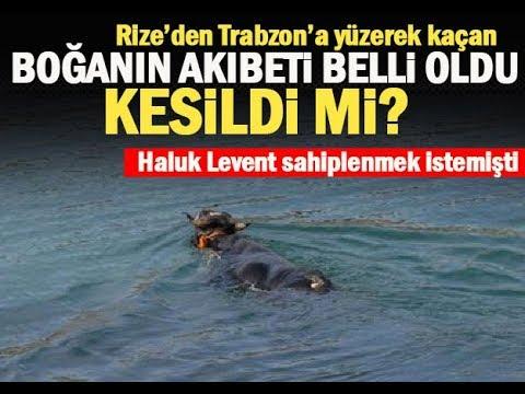 Haluk Levent, Denizde 3 Gün Yüzerek Kaçan Danayı Satın Aldı.