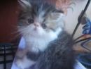 MVI 2040 1 Гарри персидский котёнок продажа резерв