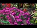 Хризантема мелкоцветковая пересадка из сада в горшок длительное цветение дома фитонцидная