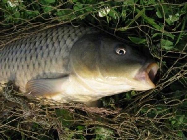 Карасекарп, он же карпокарась  гибридная рыба