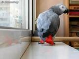 Попугай поёт песню Анни Лорак