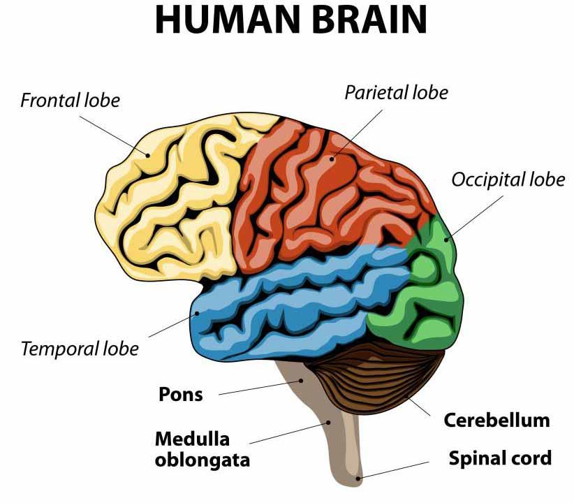 Инсульт может перекрыть кровоснабжение части мозга.