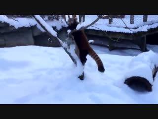 еноот радуется первому снегу