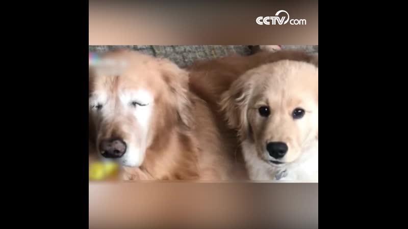 Слепой пес из США обзавелся собакой-поводырем