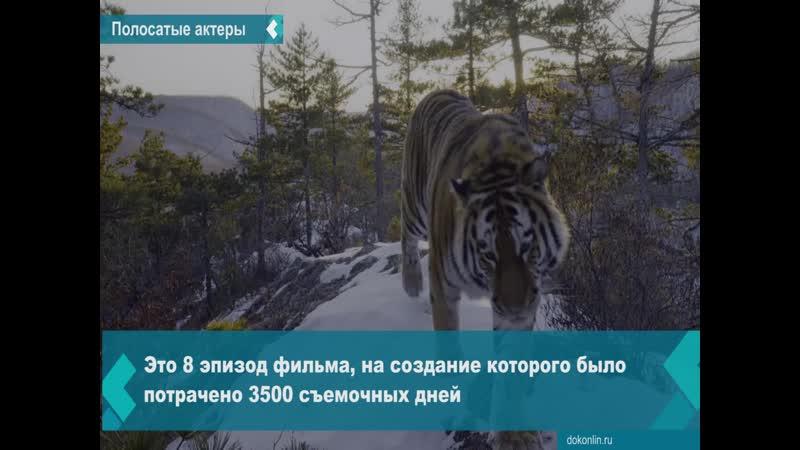 Амурские тигры снялись в сериале Наша планета
