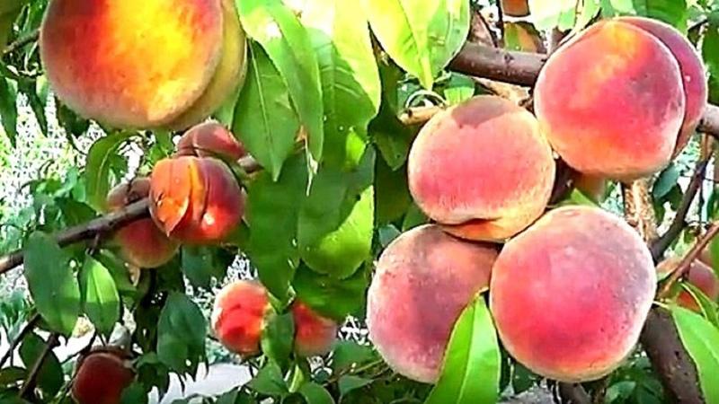 Персик из косточки Как вырастить персиковое дерево из косточки