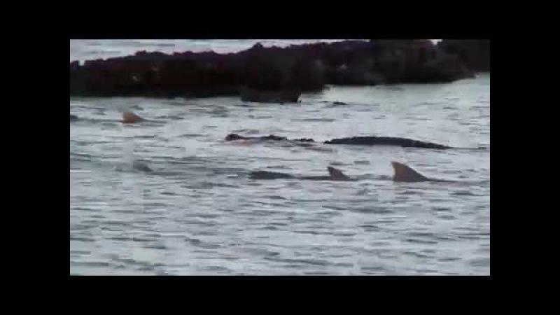 Гребнистый крокодил плавает с едой среди акул