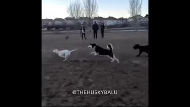 This is what happens when you bring an RC car to a dog park