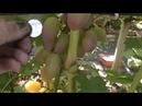 Сорт винограда Юбилей Херсонского дачника