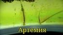 Артемия/Brine shrimp