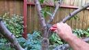 Как исправить крону персика Обрезка запущенного персика
