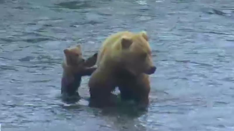 Cub Holds Onto Moms Tush - Brooks Falls - Live Cam Highlight