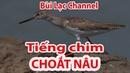 Tiếng chim Choát nâu dùng bẫy lưới đêm - Tringa totanus - นกทะเลขาแดงธรรมดา