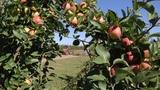 Рекордный урожай яблок в Крыму (21.09.2018)