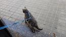 Британский кот выходит на улицу