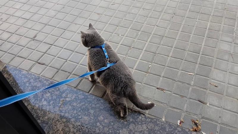Британский кот выходит на улицу)