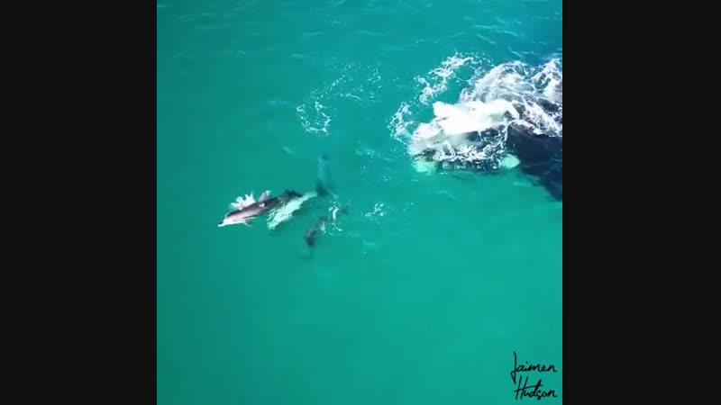 Южные киты и дельфины играют вместе