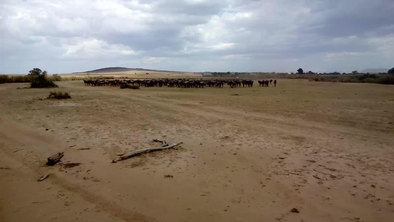 Перед стартом. Стадо зебр и антилоп. Кения