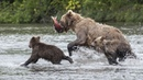 Медведи и я / Медвежья рыбалка на Камчатке