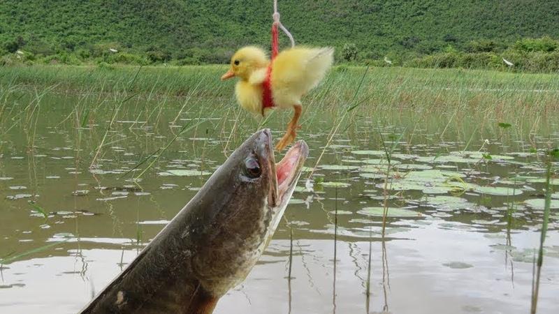 Cách câu cá lóc bằng vịt con thu về cả bao cực đẳng cấp