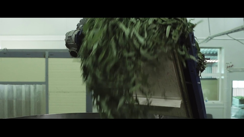 Иван чай - сбор, заготовка, ферментация   Емельяновская Биофабрика
