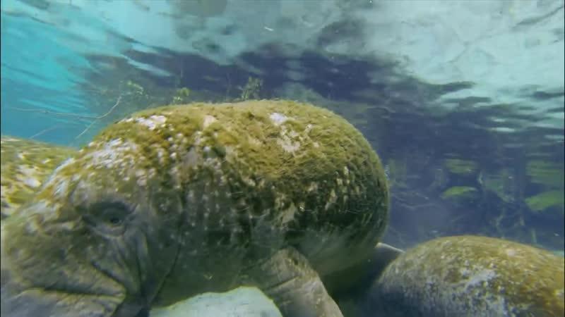 Ламантины под водой
