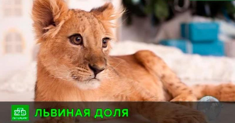 Реабилитационный центр «Велес» хочет выкупить у петербуржца львенка Симу