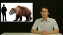 Откуда взялись медведи