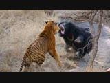 Пара тигров подошли слишком близко к самке медведя-губача с двумя детенышами