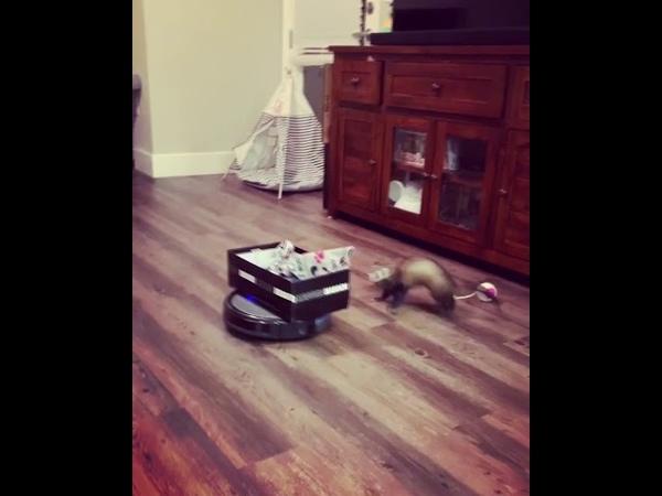 Ferret Goes For a Vacuum Robot Ride || ViralHog