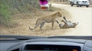 Leopard Death Battle in the Road