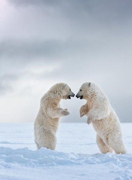 Топ-25: Интересные факты о белых медведях Белый медведь, без сомнения, является одним из самых удивительных животных нашей планеты. Об этом говорит даже тот факт, что этим величественным