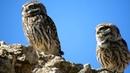 Mochuelo europeo (Athene noctua) Little Owl 4K