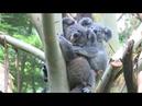 Малыш коалы вылез из маминой сумки через восемь месяцев после рождения
