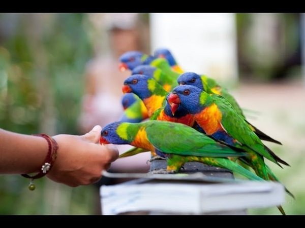 Lorikeet Feeding Frenzy