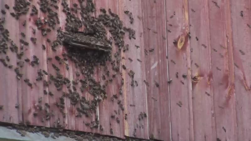 Разница в поведении пчёл.