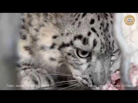 Разговоры с барсами продолжаются. Тайган. Talk with leopards continues. Taigan