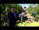 В Крыму готовятся собрать самый большой за десять лет урожай яблок