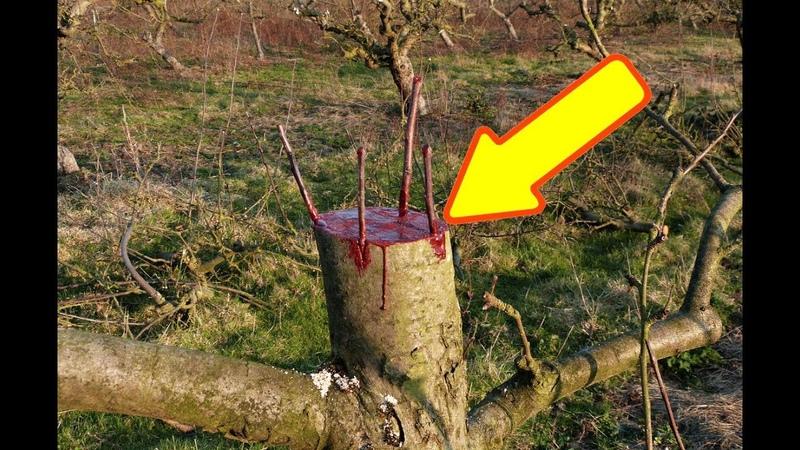 Сделайте это с яблонями осенью для сумасшедшего плодоношения в следующем году!