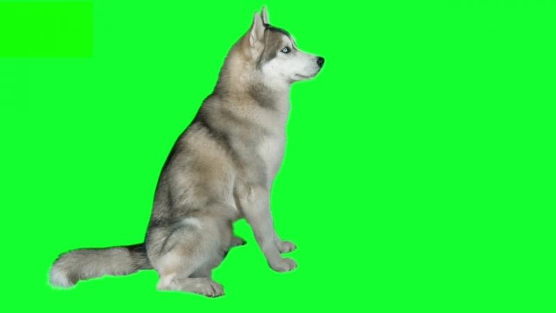 Dog siberian hasky Green screen