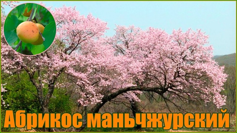 Абрикос маньчжурский - как посадить косточку