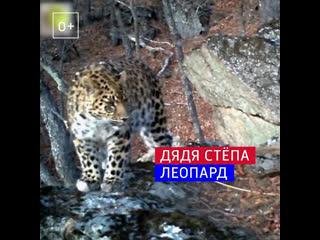 Полиция взяла под опеку леопарда Стёпу – Россия 1