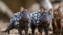 Картинка животные Австралия крапчатая сумчатая куница Тасмания млекопитающее куница