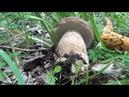 Porcini di luglio in vari habitat - un video di diavolorosso -