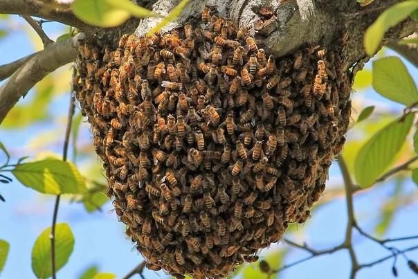Поверья и приметы про пчел С давних времен пчелы считались символами чистоты, благородства и трудолюбия. За способность производить вкусное и полезное лакомство, человек быстро одомашнил этих