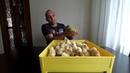 Инкубация куриных яиц мини мясные Таблица в описании