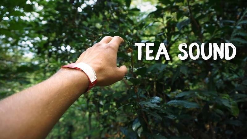 Дикие плантации чая в России Фестиваль на чайных плантациях Tea Sound
