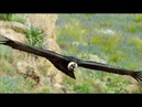 The majestic Andean Condor, the largest flying bird